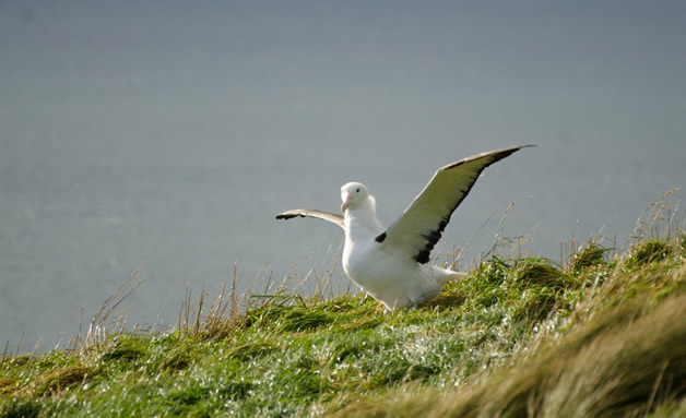 Image from Rac Chris Northern Royal Albatross chick strengthens its wings.