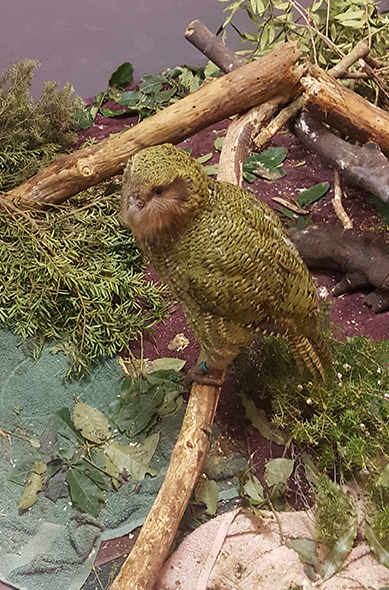 One of the Kākāpō in the temporary enclosure.