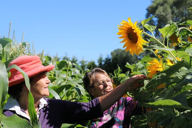 Pani Ruwhiu (left) and Hilary Te Aika check on their sunflowers.