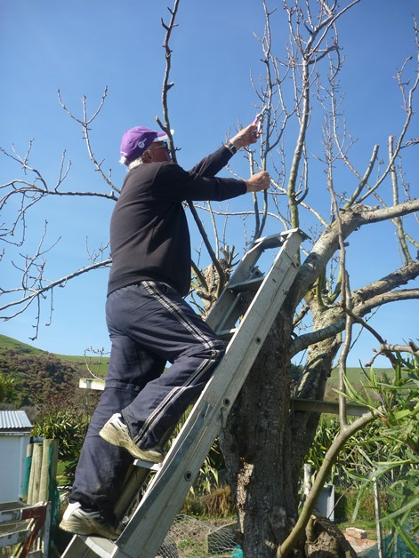 Peter Asher, rūnanga member and groundsman prunes one of the trees.