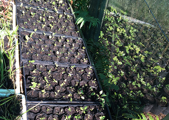 Seedlings from the new māra kai project.