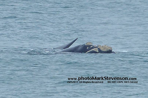 Southern Right Whale off St Clair, Dunedin spotted on 14 July. This picture helps to give an idea of the length and head of the whale. Photo by Mark Stevenson.