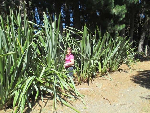Sue Tipene weeding the pā harakeke front driveway.