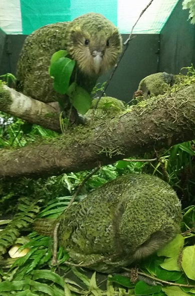 Two of the kākāpō chicks that are part of the breeding programme.